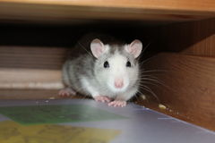 Een rat Stock Foto's