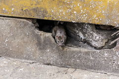 Een rat komt uit van onder het gebouw Royalty-vrije Stock Foto's
