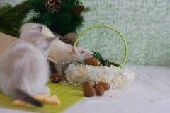 Een rat steelt een noot Het katje bekijkt de muis royalty-vrije stock foto