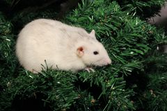 Een rat is een symbool van het nieuwe jaar 2020 Jaar van de rat op de Chinese horoscoop royalty-vrije stock foto
