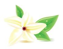 Een realistische frangipanibloem Royalty-vrije Stock Afbeelding