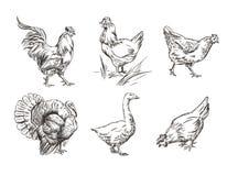 Een reeks beelden van binnenlandse vogels Haan, Turkije, kippen en gans schetsgrafiek vector illustratie