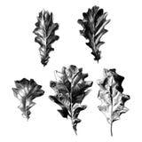Een reeks eiken bladeren Stock Foto
