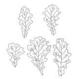 Een reeks eiken bladeren Stock Afbeeldingen