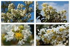 Bloeiend bomen Mediterraan gebied Royalty-vrije Stock Foto's