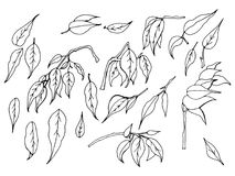 Een reeks zwart-witte hand-drawn bladeren van ficus benjamin op een witte achtergrond vector illustratie