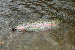 Een regenboogforel op een vlieg visserijlokmiddel dat wordt gevangen royalty-vrije stock fotografie