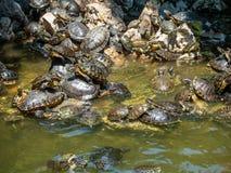 Een reusachtig aantal schildpadden in de vijver en op de rotsen in Athene, Griekenland stock afbeeldingen
