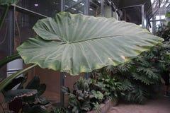 Een reusachtig blad groeide op een tak in een groen huis stock foto