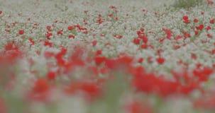 Een reusachtig gebied van bloeiende papavers stock footage