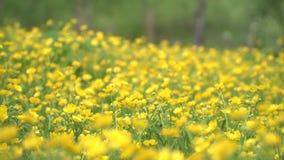 Een reusachtig gebied van mooie gele bloemen stock videobeelden