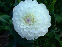 Een reusachtige bloem van een sneeuwwitte Dahlia Mooi en teder royalty-vrije stock foto's
