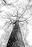 Een reusachtige boom, neemt een mening vanuit een laag perspectief om een hoge mening te vinden stock afbeeldingen