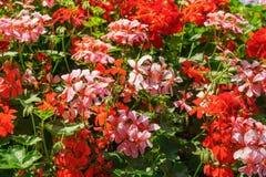 Een reusachtige die struik van geranium in potten op een pool wordt geplant De decoratie van de stad Het tuinieren stock afbeelding