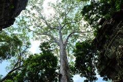 Een reusachtige en zeer hoge witte boom die zich tussen overladen tempelmuren bevinden Royalty-vrije Stock Foto's