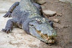 Een reusachtige krokodil op grond met open kaken en met teeths stock fotografie