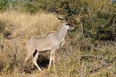 Een reusachtige mannelijke kudu royalty-vrije stock afbeelding