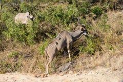 Een reusachtige mannelijke kudu stock fotografie