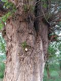 Een reusachtige oude boom met zijn eigen ziel stock afbeelding