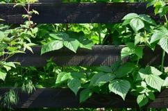 Een reusachtige struik van framboos groeit naast de houten omheining van de dorpstuin Achtergrond verbonden aan seizoengebonden h royalty-vrije stock afbeelding