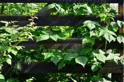 Een reusachtige struik van framboos groeit naast de houten omheining van de dorpstuin Achtergrond verbonden aan seizoengebonden h royalty-vrije stock foto's