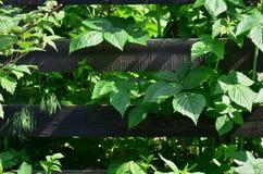 Een reusachtige struik van framboos groeit naast de houten omheining van de dorpstuin Achtergrond verbonden aan seizoengebonden h stock foto