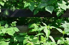 Een reusachtige struik van framboos groeit naast de houten omheining van de dorpstuin Achtergrond verbonden aan seizoengebonden h stock afbeeldingen