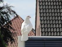 Een reusachtige witte pidgeon in ontsnapt van een huwelijk Royalty-vrije Stock Foto
