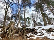 Een reuzeboomwortel op de oppervlakte van de vochtige aarde Het de lente van ` s Ligt sneeuw royalty-vrije stock fotografie