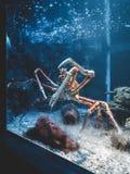 Een reuzekrab in een aquarium in Malaga stock foto's