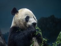 Een reuzemelanoleuca die van pandaailuropoda binnen etend een tak van greens in een dierentuin genieten van stock foto's