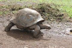 Een reuzeschildpad Stock Foto's
