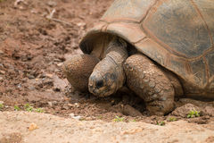 Een reuzeschildpad Stock Afbeeldingen