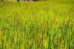 Een riceberry gebied, landbouwbedrijf, aanplanting stock afbeelding