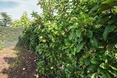 Een rij van het hoogtepunt van appelbomen van appelen in de de herfsttuin Royalty-vrije Stock Afbeeldingen