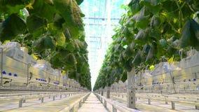 Een rij van komkommerinstallaties in serre met heldere omhoog hierboven hemel stock video