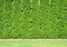 Een rij van lang van groene thuja. stock afbeeldingen