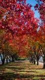 Een rij van sierperenbomen Royalty-vrije Stock Afbeelding