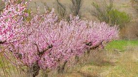 Een rij van tot bloei komende bomen op een gebied stock video