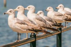 Een rij van witte zeemeeuwen die op een richel zitten terwijl het bekijken royalty-vrije stock fotografie