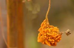 een rijpe bittere pompoen of een Bittere meloen vertegenwoordigde zijn schoonheid royalty-vrije stock afbeeldingen