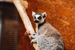 Een ring-de steel verwijderde van Makicatta eet een fruit terwijl het zitten op een logboek stock fotografie