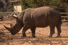 Een Rinoceros Stock Fotografie