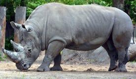 Een rinoceros Stock Afbeelding