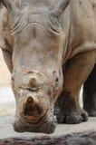 Een rinoceros die camera bekijkt Royalty-vrije Stock Afbeeldingen