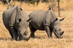 Een een rinocerosmoeder en kalf Royalty-vrije Stock Foto's