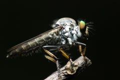 Een robberfly Royalty-vrije Stock Afbeelding