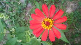 een rode bloem is bloeiend royalty-vrije stock fotografie