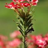 Een rode bloem met aphids royalty-vrije stock afbeeldingen