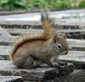 Een rode eekhoorn bij banff nationaal park Stock Afbeelding